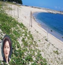 울진농기센터, 염생식물 '해방풍' 지역특화작목 육성성공